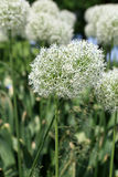 Allium Bulbs Royalty Free Stock Images