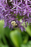 Allium and bumblebee Stock Images