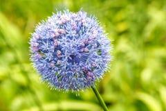 Allium caeruleum Immagini Stock