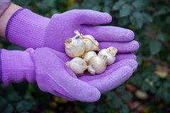 Allium caeruleum bulbs in gardener`s hands in gloves ready to be planted royalty free stock photography