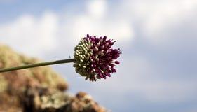Allium Cardiostemon Immagine Stock
