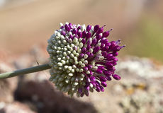 Allium Cardiostemon Royalty Free Stock Photos