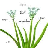 Allium cepa (albero della cipolla) Fotografia Stock Libera da Diritti