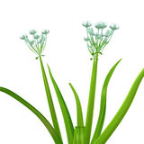 Allium cepa (onion tree) Royalty Free Stock Photos