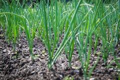 Allium cepa Stock Photo