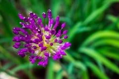 Allium che sboccia in primavera Fotografia Stock