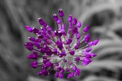Allium che sboccia in primavera Immagine Stock