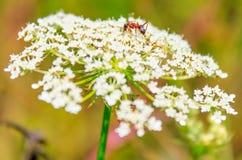 Allium chinense con il primo piano della formica Fotografia Stock Libera da Diritti