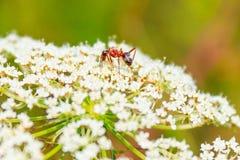 Allium chinense con il primo piano della formica Immagini Stock Libere da Diritti