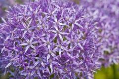 Allium christophii Royalty Free Stock Photos