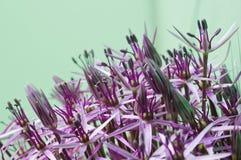 Allium Christophii Royalty Free Stock Image