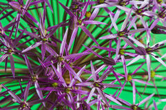 Allium Christophii Royalty Free Stock Images