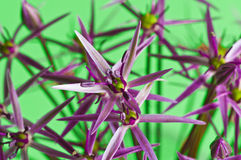 Allium Christophii Royalty Free Stock Photography