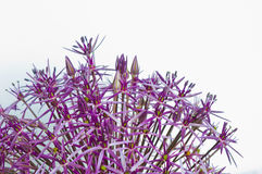Allium Christophii Immagine Stock