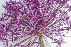 Allium Christophii Royalty Free Stock Photo