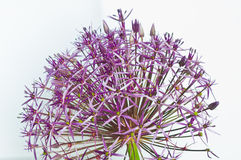 Allium Christophii Fotografie Stock