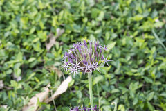 Allium Christophii Fotografia Stock