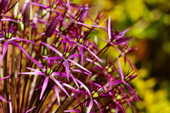 Allium Christophii Fotografia Royalty Free