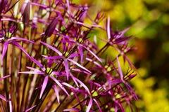 Allium Christophii Fotografia Stock Libera da Diritti