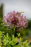 Allium christophii (Star of Persia) Stock Photos