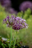 Allium christophii (Star of Persia) Royalty Free Stock Photography