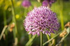 Allium, cipolla persiana, sensazione porpora, primo piano Fotografie Stock Libere da Diritti