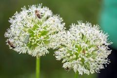Allium, cipolle ornamentali giganti in piena fioritura Fotografia Stock