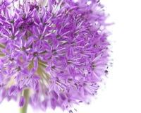 Allium close-up Stock Photo
