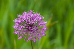 Allium close up Stock Photo