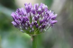 Allium Royalty Free Stock Image