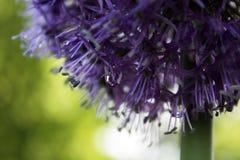 Allium con goccia Immagine Stock