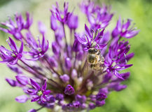 Allium con il fiore di rosa dell'ape Fotografia Stock