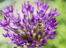 Allium con la flor del rosa de la abeja Fotografía de archivo
