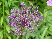 Allium cristophii, common name Persian onion or Star of Persia. A species of onion native to Turkey, Iran, and Turkmenistan. stock images