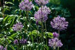 Allium de brilho Imagem de Stock