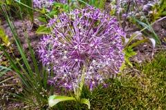 Allium de fleur avec les pétales lilas pointus images libres de droits