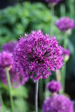 Allium Royalty Free Stock Images