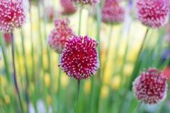 Allium decorativi degli archi Fotografia Stock Libera da Diritti