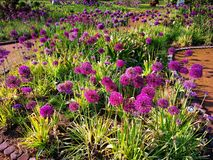 Allium decorativo - cebolla decorativa fotografía de archivo