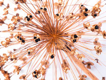 Allium decorativo delle cipolle isolato Immagine Stock Libera da Diritti