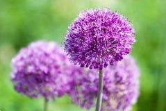 Allium del ritratto della pianta Fotografia Stock