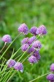 Allium del ritratto della pianta Fotografia Stock Libera da Diritti