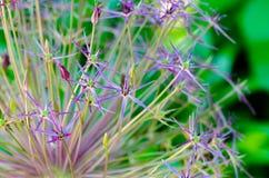 Allium della cipolla Immagini Stock Libere da Diritti
