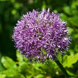 Allium della cipolla nel giardino Fotografia Stock Libera da Diritti