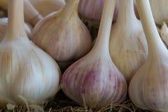 Allium delle lampadine dell'aglio Fotografie Stock