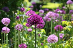 Allium Detail Royalty Free Stock Photo