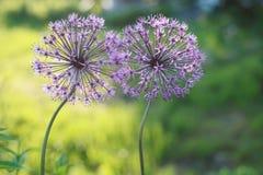 Allium due fiori Fotografia Stock