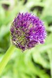 Allium - eerst bloeiende ster Royalty-vrije Stock Foto