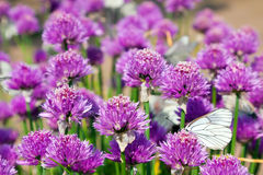 Allium field with Butterflies royalty free stock photography