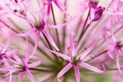Allium in fiore pieno immagini stock libere da diritti